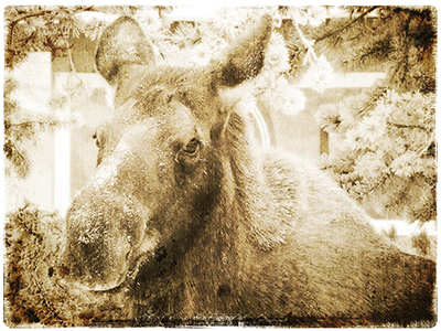 January Moose - Texture 1 - 4 web.jpg