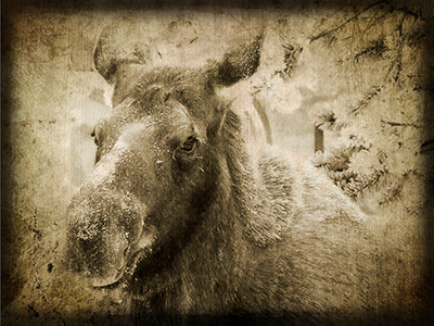 January Moose - Texture 2 - 4 web.jpg